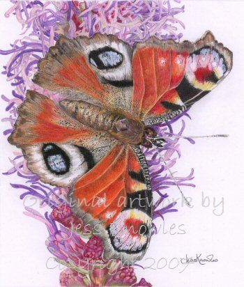 Peacock butterfly, © 2007 Jess Knowles