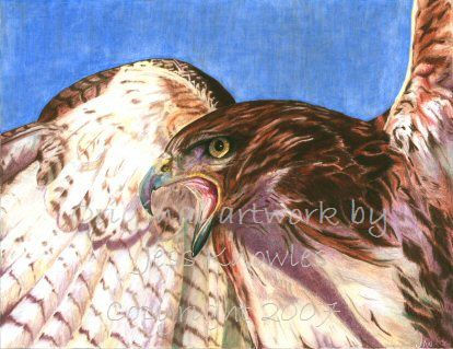 Red tailed hawk, © 2007 Jess Knowles
